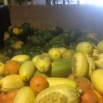 Recolte des curcubiacées