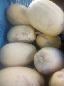 courge butternuts region 3.90€ le kilod rullecourt