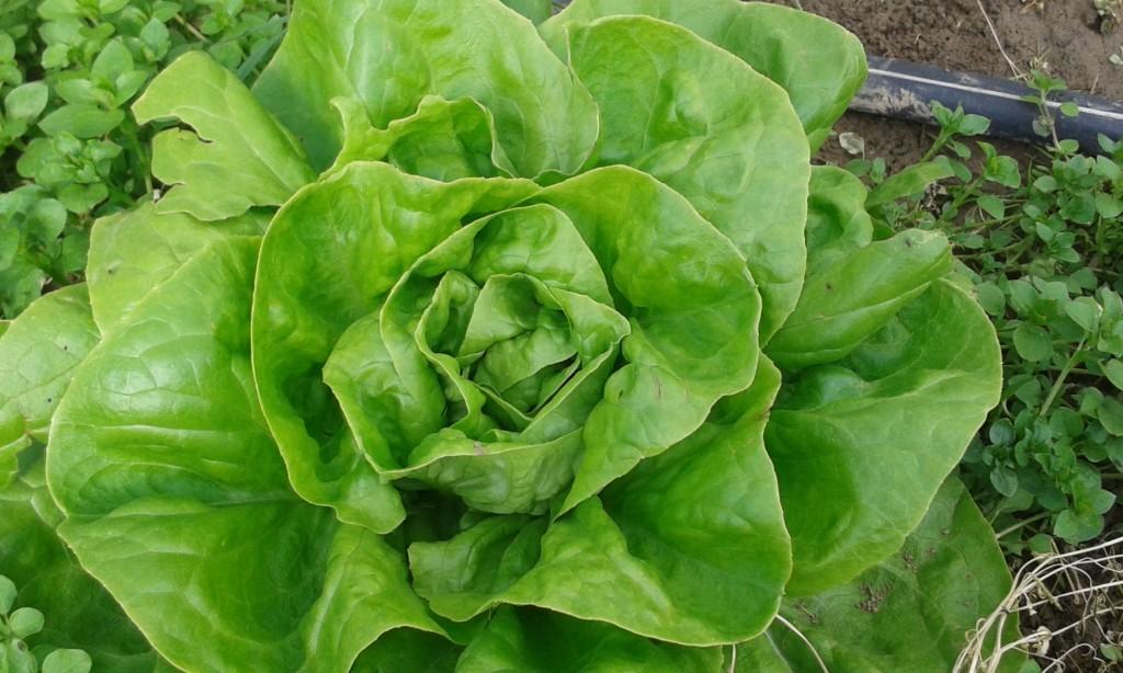 salade france 2.20€ piece