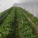 culture des fraises sous tunnel