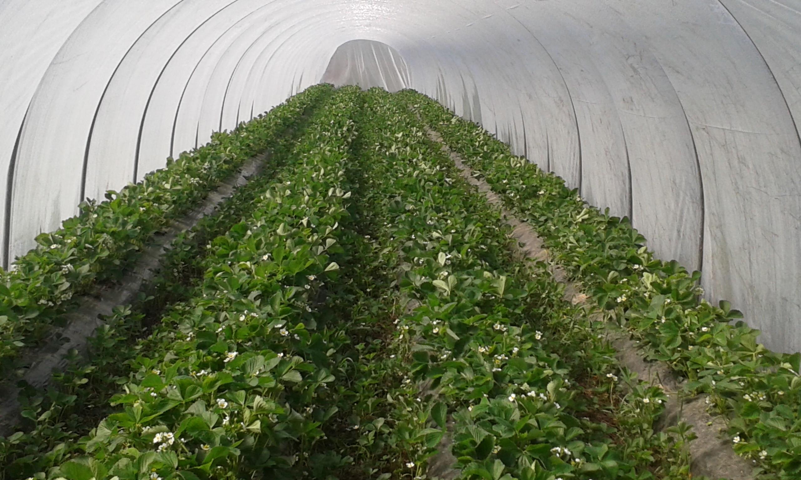 tunnel pour fraisiers l exploitation fraises de glisolles tunnel en filet avec arceaux fibre. Black Bedroom Furniture Sets. Home Design Ideas