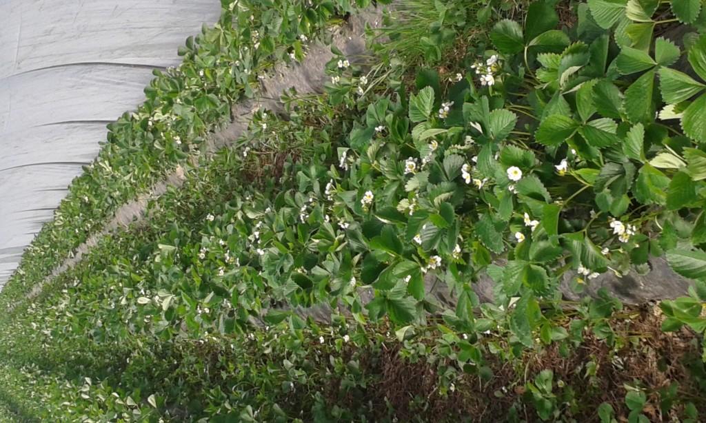 fraisier Ciflorette