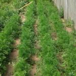 parc des carottes nouvelles