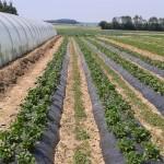 parc des fraises exterieur varieté Marades Bois qui arriveront bientot sur l'étale