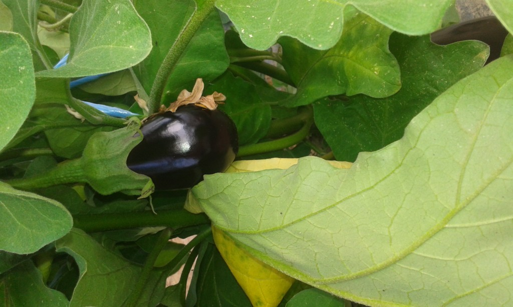 aubergine Grand rullecourt 4.20€ le kilo